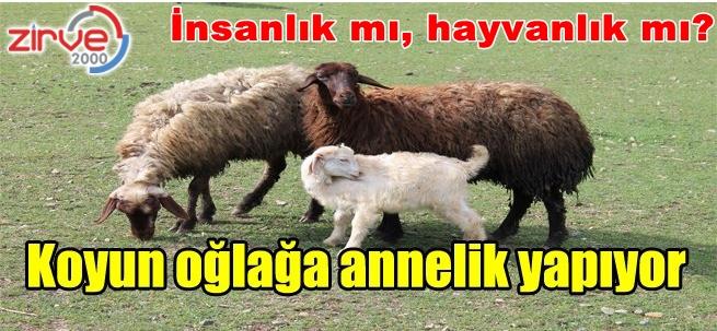 Koyundan insanlık dersi